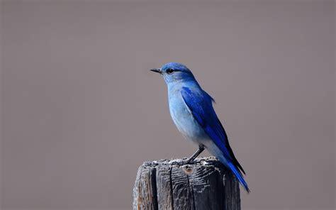 wallpaper blue with birds bluebird wallpaper wallpapersafari