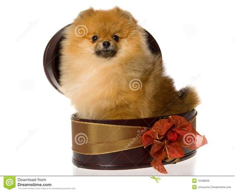 pomeranian with bow pomeranian in brown gift box royalty free stock photo image 10468535