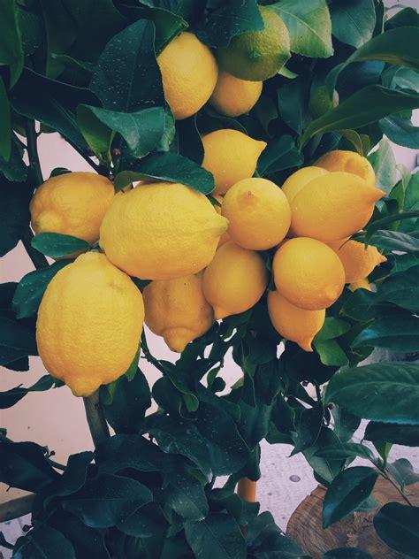 coltivare i limoni in vaso come coltivare i limoni in vaso lifegate
