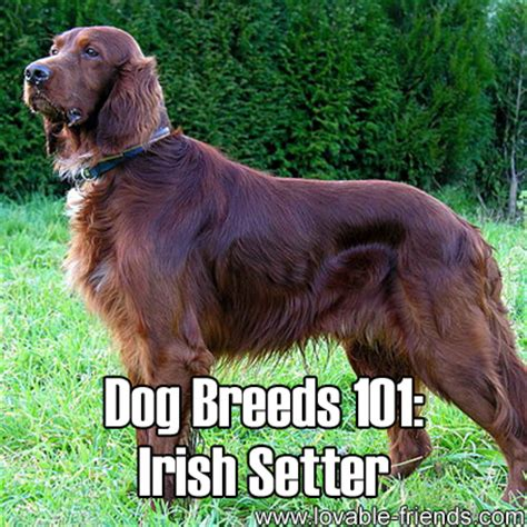 setter dogs 101 dog breeds 101 irish setter lovable friends