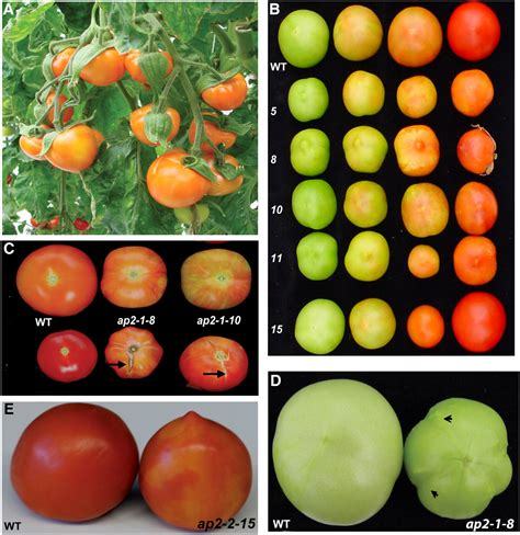 fruit ripening transcriptome and metabolite profiling show that apetala2a