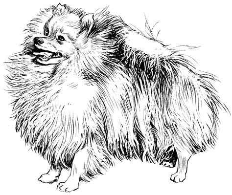 pomeranian coloring pages pomeranian coloring sheets coloring pages