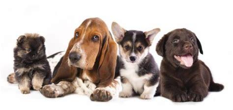 cani d appartamento piccola taglia cani di piccola taglia da compagnia ecco quale scegliere