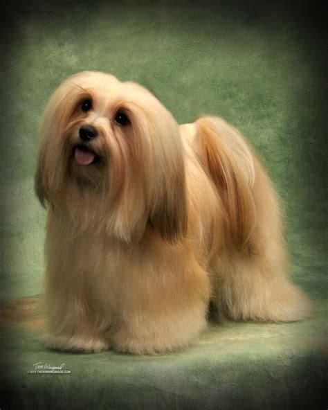 a havanese 25 best ideas about havanese grooming on havanese puppies the kennel
