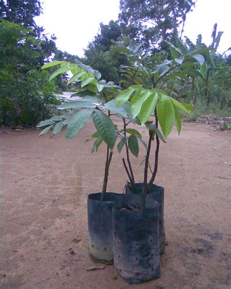 Benih Durian Musang King Perak pak mat agrotek anak anak benih pokok