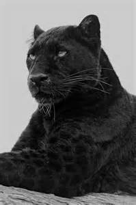 what color is a panther black leopard a quot black panther quot is typically a
