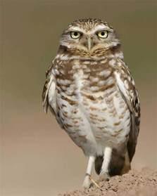 burrowing owl audubon field guide