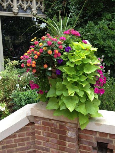 lantana sweet potato vine geranium dracena the