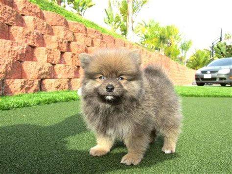 teacup pomsky puppies for sale teacup pomsky puppies for sale zoe fans baby animals dogs