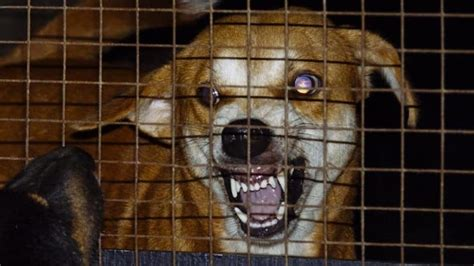 symptoms of rabies in dogs rabies in dogs fatal virtually extinct disease