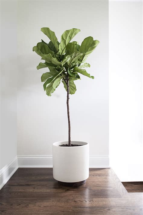 in door plant put in pot vide fiddle leaf fig archives room for tuesday