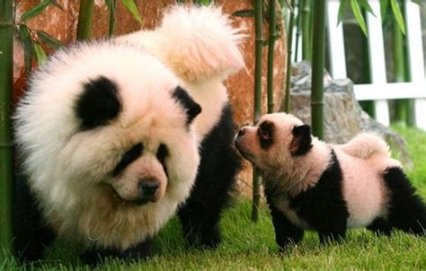 chow chow panda puppies panda chow chow need chow chow dogs dogs and chow chow
