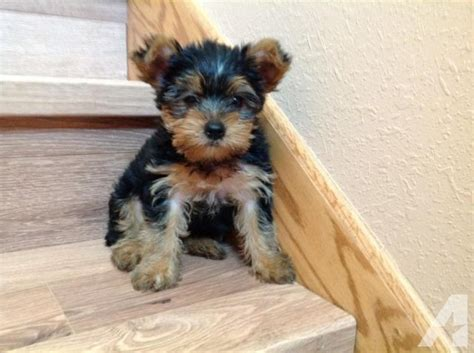 yorkie puppies for sale mn bred yorkie puppies for sale for sale in prior lake minnesota classified