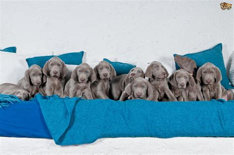 how many puppies are in an average litter factors that determine the size of a litter pets4homes