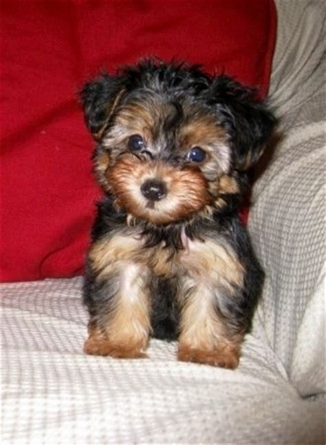 yorkie poo puppies pics yorkie cutest puppy and yorkies on