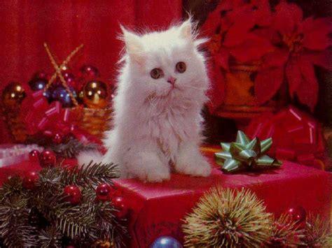 cute christmas kittens  pics funnycom