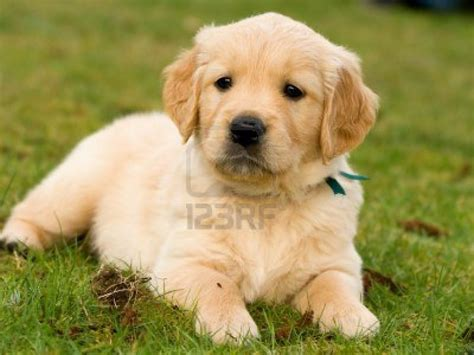 what of is a golden retriever il mio amico a 4 ze golden retriever