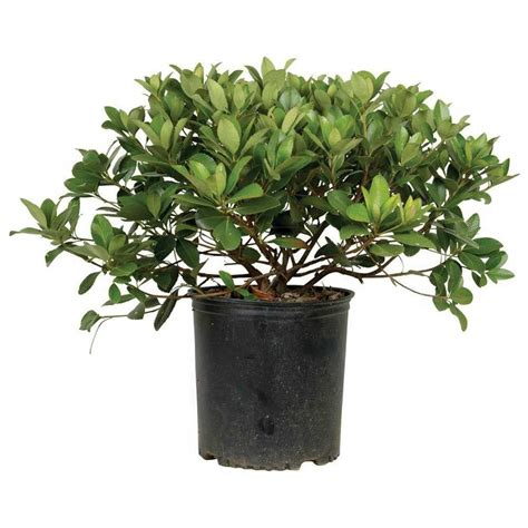 3 gal snow white indian hawthorn 51723fl the home depot