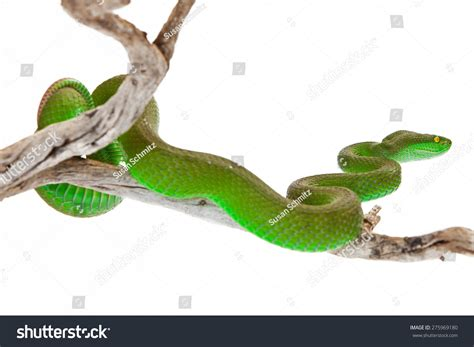 Green Also Search For Green Color White Lipped Pit Viper Also Known As