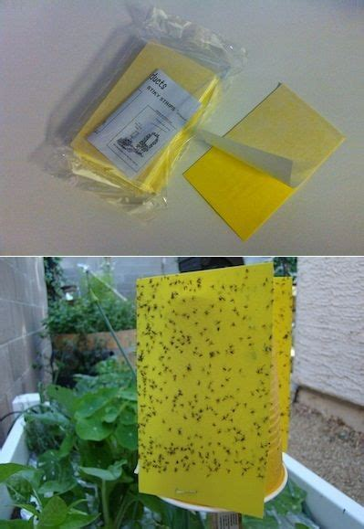 lots of gnats in backyard sticky traps for fungus gnats jpg 399 215 579 backyard