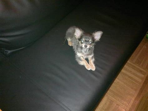 chihuahua sucht zuhause mini chihuahua tricolor sucht neues zuhause 854732