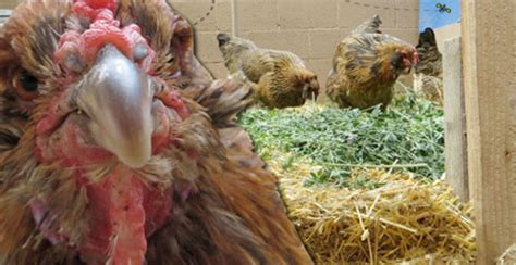 How Much Room Does A Chicken Need In A Coop by How Much Space Does A Chicken Need Anyway Growing