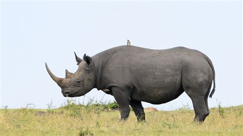 black rhino image gallery life of a rhinoceros