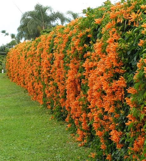 Harga Creeper Di Indonesia tanaman vine