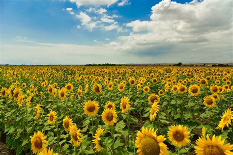 sunflower fields a flower blog about flowers plants gifting