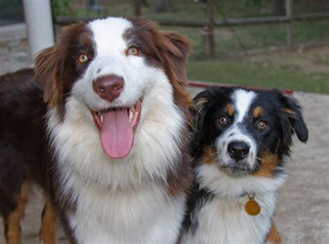 Do Springer Spaniels Shed by Australian Shepherd Spaniel Mix Puppies Www