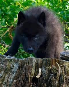 imagenes lobo negro cachorro lobo negro irm 227 os tribo da verdade pinterest
