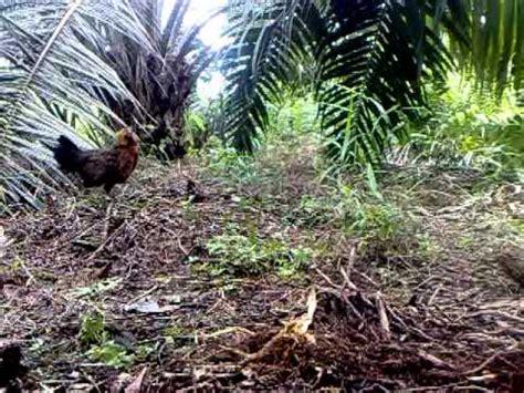 Anakan Ayam Hutan Betina ayam hutan pikat betina 7
