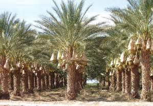 Fruit Trees In Phoenix - ucr today date palm grove