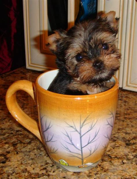yorkie average size twilight yorkies puppies