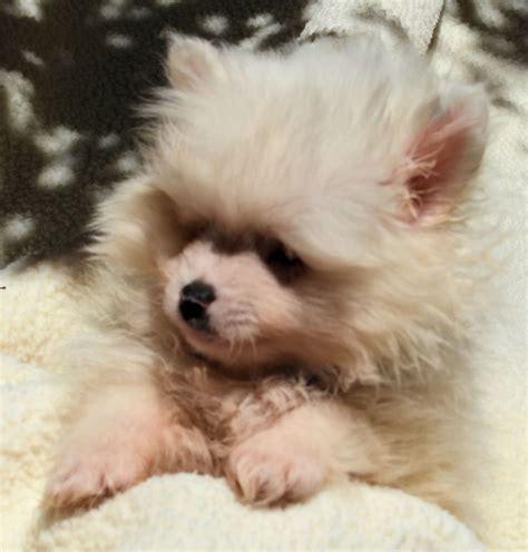 baby pomeranian for adoption best 20 pomeranian for adoption ideas on pomeranian puppies for sale