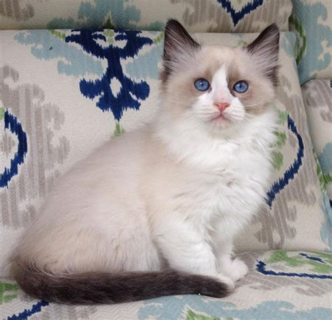 ragdoll cat colors ragdoll cats in many colors and patterns jamila s ragdolls