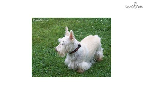 scottish terrier puppies for sale ohio scottie scottish terrier puppy for sale near toledo ohio c68ff5a8 7941