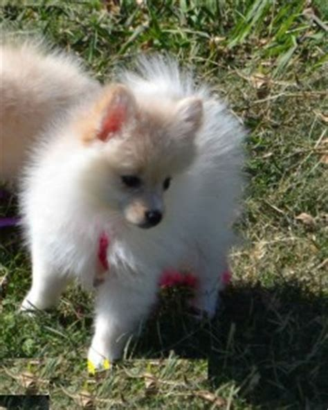 pomeranian husky breeders california and pomeranian husky puppies now ready for rehoming alameda ca