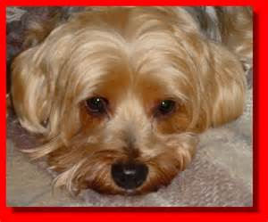 silky terrier hair cut silky terrier haircuts image search results