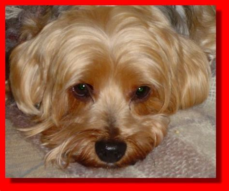 silky terrier with haircut silky terrier haircuts image search results