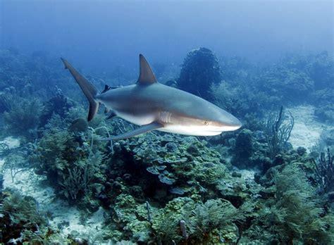 Resmi Hn git honduras b 252 y 252 k karayip resif k 246 pekbalığı roatan turları 585