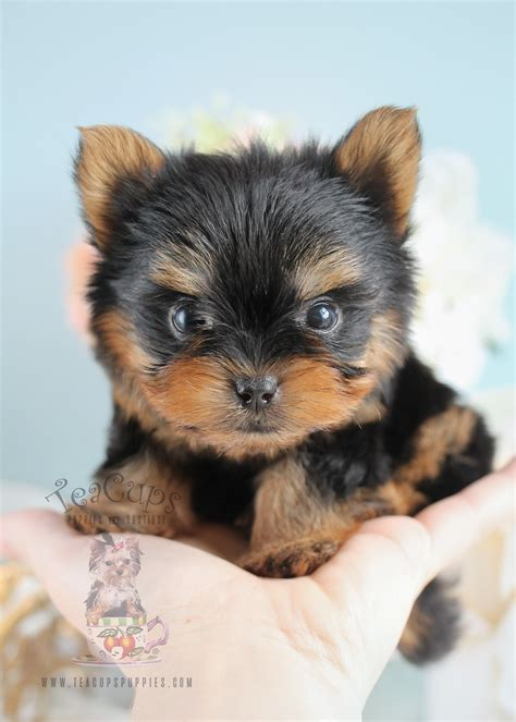 yorkie clothes for sale teacup yorkie puppies teacups puppies boutique