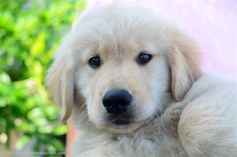 gemini golden retrievers puppy gemini goldens chosen to be guide dogs nationwide
