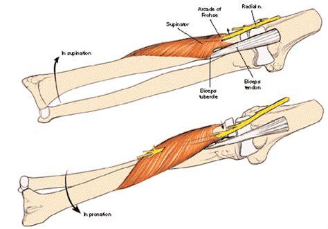 skeletal muscle at university of louisville studyblue