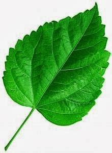 belajar tentang alam tumbuhan pangkal daun basis folli