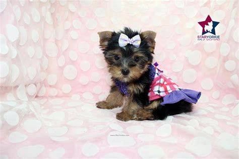 smallest teacup yorkie in the world smallest cutest teacup puppies in the world maltese poms yorkies shih tzu