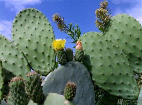 fiore di fichidindia fico d india la pianta grassa commestibile pollicegreen