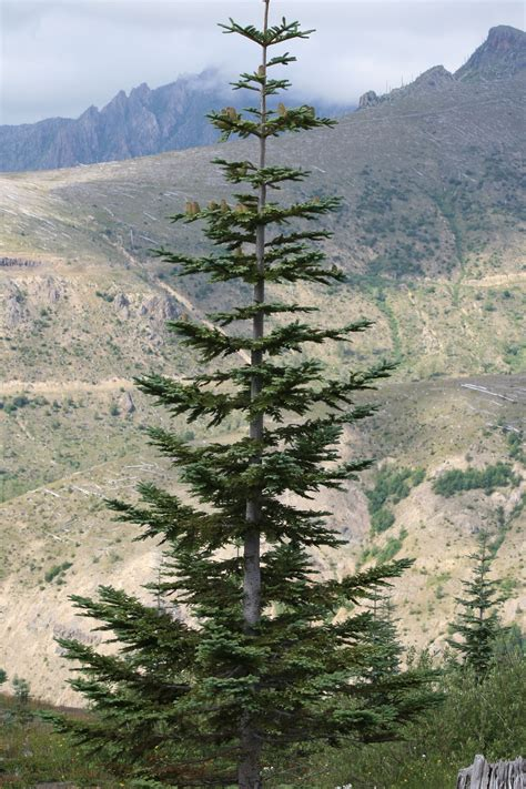 mount washington christmas tree file abies procera mtsthelens jpg wikimedia commons
