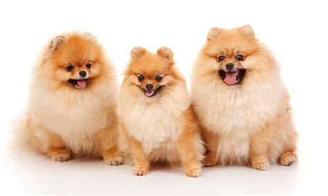 pomeranian dogs names pomeranian names www pixshark images galleries with a bite