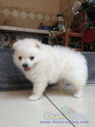 Jual Jual Minipom Jantan Kaskus dunia anjing jual anjing pomeranian minipom jantan